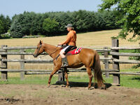 BIG SOLID QUARTER/PAINT HORSE MARE
