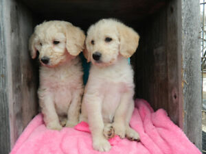 Labradoodle Puppies  F1Bs and F3