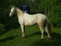 STANDING AT STUD CREMELLO TOBIANO PAINT
