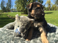 Gorgeous  Black and Tan German Shepherd Puppies