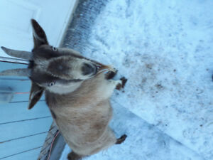 Free to good home: 2 Pygmy goat does