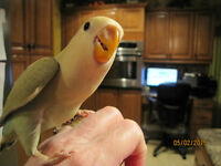 Hand Fed & Hand Raised Peach-Faced Lovebirds Available!