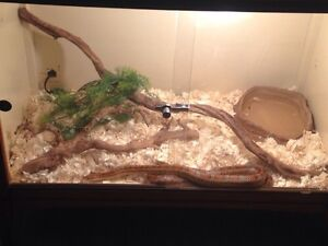 Normal Corn Snake With Enclosure