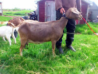 GOATS FOR SALE SEE DETAILS