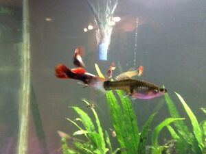 Lots of guppies! Strathcona County Edmonton Area image 4