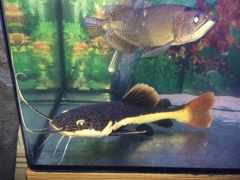 Red tail catfish hi fin pangasius shark shovel nose in for Shark tail fish