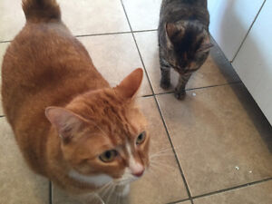 2 Wonderful cats need a new home! West Island Greater Montréal image 1