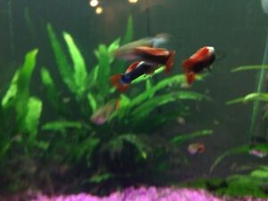 Lots of guppies! Strathcona County Edmonton Area image 2