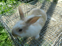 Baby Bunnies For Sale :D