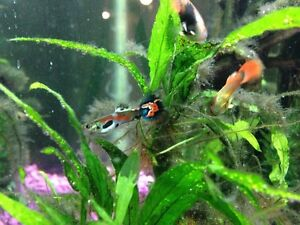 Lots of guppies! Strathcona County Edmonton Area image 1