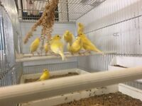 Top Quality Canaries for sale
