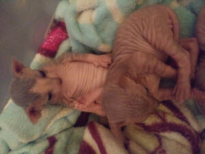 Chatons Sphynx kitten TICA ready for xmas