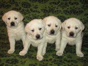 ♥♥♥BEAUTIFUL WHITE/CREAM LABRADOR PUPPIES♥♥♥ Regina Regina Area image 5