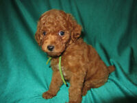 CKC REGISTERED MALE RED TOY POODLE PUPPY