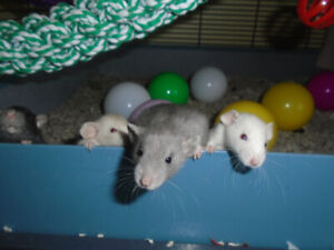 Lakeside Rattery: Dumbo babies available!