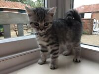 BRITISH SHORTHAIR PEDIGREE SILVER SPOT GIRL LAST ONE LEFT