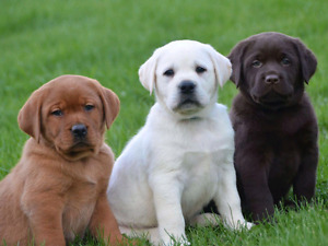 Looking for a lab cross puppy