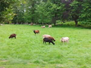 Sheep and lambs for sale
