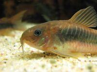 Tropical fish ( Cory Dora's £1)