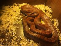 Corn snake with 4 foot Viv