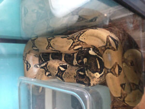 Red tail boa