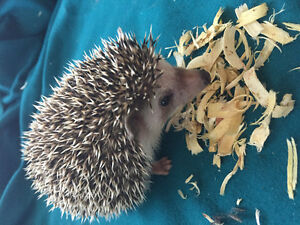 11 week old hedgehog