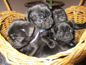 Pure breed puppies for sale.
