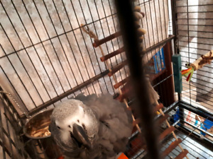 African grey male
