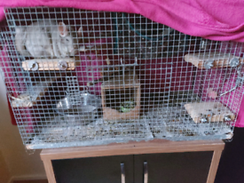 Looking for female chinchilla to rehome