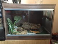 One year old leopard gecko and set up