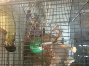Selling 3  society   finches