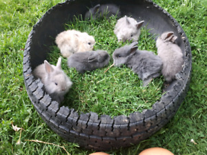 Adorable baby lion head rabbits  available