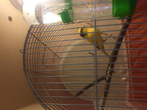 Long yellow male canary singer
