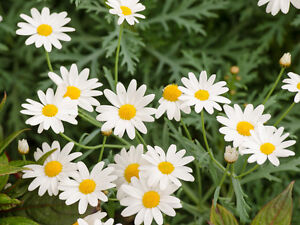 how to grow chamomile from seed