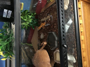 2 leopard Gecko's for sale