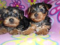 chiots yorkshire **males**