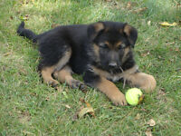 Beautiful Black & Tan German Shepherd puppies for sale