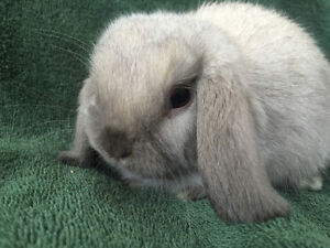 PB Holland lop babies! Super calm and cuddly!