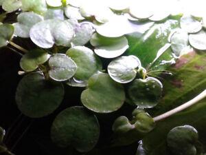 Amazon Frogbit Freshwater Floating Plant (aquarium plant)