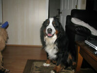 Bernese Mountain Dogs Wanted Females