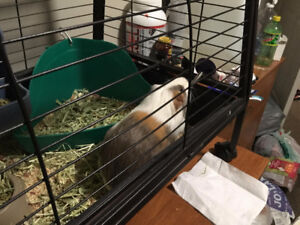 3 Year Old Guinea Pig for a Herd/Group of other Guinea Pigs