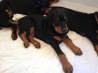 C.K.C Registered Doberman Puppies