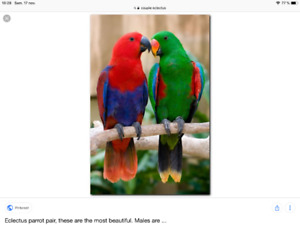 Couple eclectus