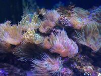 Anemone for Sale