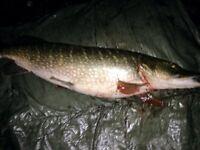 Pike sea coarse •BAIT• fishing
