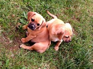 Puggle Puppies!