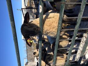 Suffolk sheep for sale