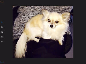 LOST DOG long haired Chihuahua (Southlands/Vancouver)