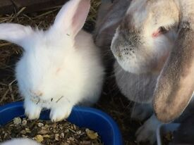 Baby French Lop x Continental Giant Rabbits