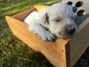 F1B Golden Doodle puppies now available from KerrisDoodles